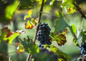 grapes at le volpi