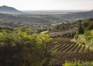 vineyard of le volpi