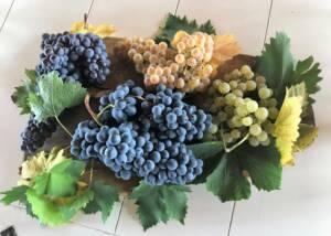 Grapes Of The Livia Fontana Winery