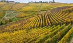 Vineyard Of The Livia Fontana Winery