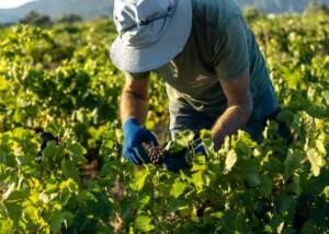 a staff prunning vines at lyrarakis winery
