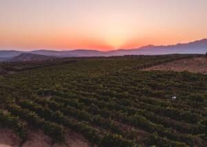 vineyard of lyrarakis winery during sunset