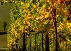 Vineyards at Margarethenhof-Weingut Weber