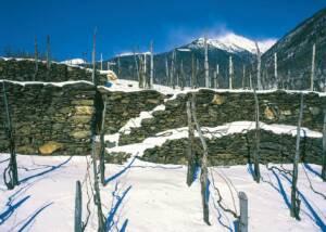 vineyard of casa vinicola pietro nera covered with snow