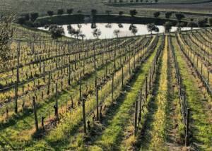 Vineyard Of The Perla Del Garda Winery
