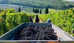 Harvested Grapes At Podere L Aja Societa Agricola Winery