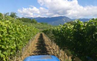 Vineyard Of The Posestvo Štokelj Winery