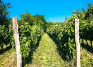 Vineyard Of The Pósta Borház Winery
