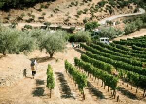 Vineyard Of The Quinta Do Panascal Winery