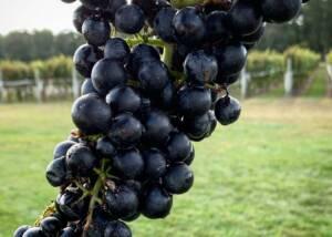 Black grapes of the Salted Vines Vineyard & Winery