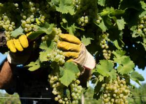 a staff harvesting grapes at san martino coluccivini
