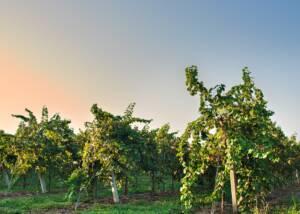 vineyard of san martino coluccivini