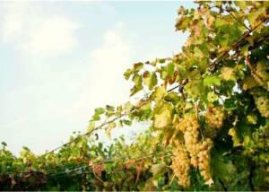 grapes growing at sandro de bruno