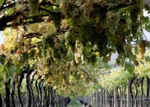grapes at sandro de bruno
