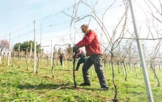 An old man working in the vineyard of Schilcherweingut Friedrich winery