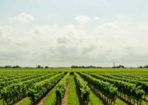 Splendid view of the Vineyard of the Schmitz 24 Brix Wines winery