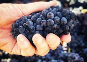 Grape harvest at Sutcliffe Vineyards