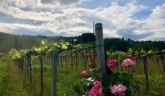 Vineyard Of The Tenuta Arabona Winery