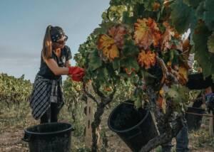 a staff harvesting grapes at tenuta giustini