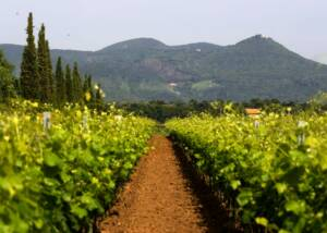 vineyard of terre del marchesato with a passage inbetween