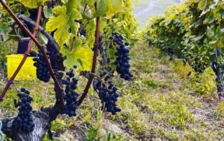 Vines at Terres De Lavaux Winery