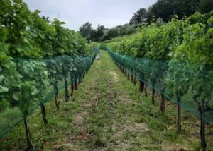 VIneyards at Uou Konzorcij Zapuscenih Vinogradov