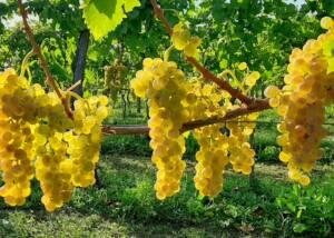 Grapes at the Uou Konzorcij Zapuscenih Vinogradov Vineyards