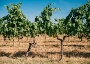 vines at vecchie terre di montefili