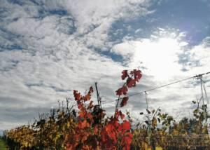 Vineyard Of The Vignobles Carles Winery