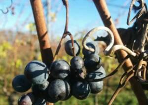 Grapes at Wassmann Biodynamic Wines Villany
