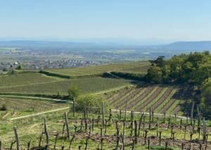 Vineyard Of The Weingut Alois Höllerer Winery