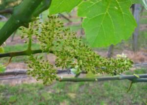 Flowering Grapes at Weingut KHS