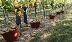 Beautiful Vineyard Of The Weingut Pfeffingen Winery
