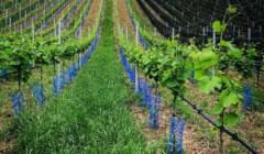 Vineyard Of Weingut Uwe Geßner Winery