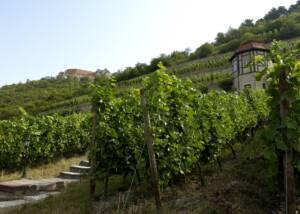 Vineyards of winzervereinigung-freyburg-unstrut