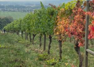 Vineyards of Woven Wineworks