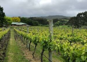 Beautiful vineyard of Ashton Hills Vineyards