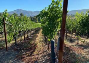 Beautiful vineyard of Avinodos winery