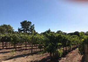 Vineyard of the Avinodos winery