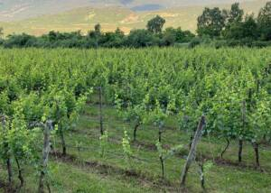 Azienda Agricola Salvetta Harvest