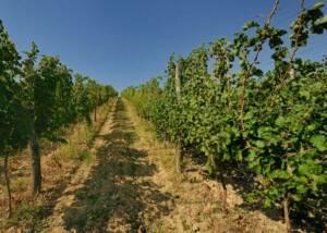 Belo Brdo Winery Vineyards