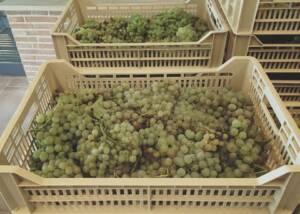 Harvest of Bindella Tenuta Vallocaia