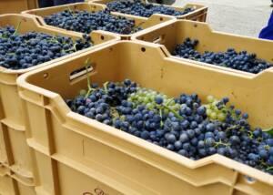 Harvest of Bodega Miguel Merino