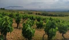 Bodega Miguel Merino Vineyards