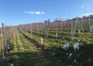 Vineyards of Chumbderhof
