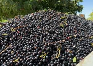 Harvest at Domaine Des Pentelines