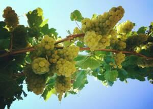 Fink Kotzian Weinbau Og White Grapes