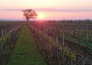 Vineyards of Fink Kotzian Weinbau Og