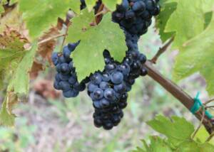 Black grapes at Vitis Metamorfosis