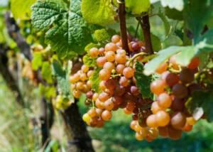 Grapes at Hirschmugl - Domaene am Seggauberg